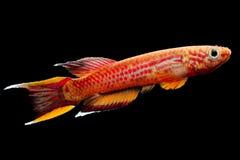 Akvariefisk Killifish Kap Lopez Royaltyfri Fotografi