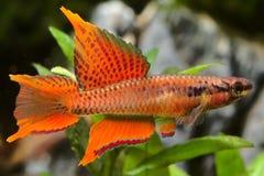 Akvariefisk KillifishTwostripe lyretail Royaltyfria Foton