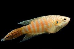 Akvariefisk paradisfisk Royaltyfri Fotografi