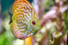 Akvariefisk som påbörjar från Sydamerika, diskusskorpion u fotografering för bildbyråer