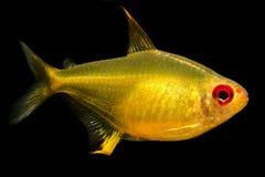 Akvariefisk Tetra citron Arkivfoton