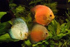 Akvariefiskar Royaltyfri Fotografi