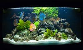 Akvariefiskar Arkivbilder