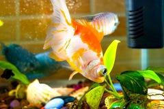 Akvariefiskguldfisken simmar i vattnet med den gröna växten Royaltyfri Foto