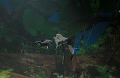 Akvariet med fiskar, naturliga växter och vaggar fiskar tropiskt Akvarium med gröna växter Fotografering för Bildbyråer