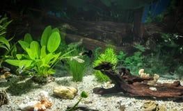 Akvariet med fiskar, naturliga växter och vaggar fiskar tropiskt Akvarium med gröna växter Royaltyfri Foto