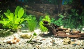 Akvariet med fiskar, naturliga växter och vaggar fiskar tropiskt Akvarium med gröna växter Royaltyfria Bilder
