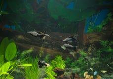 Akvariet med fiskar, naturliga växter och vaggar fiskar tropiskt Akvarium med gröna växter Arkivbilder