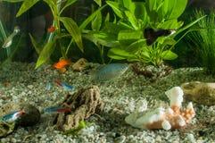 Akvariet med fiskar, naturliga växter och vaggar fiskar tropiskt Akvarium med gröna växter Arkivfoto