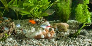Akvariet med fiskar, naturliga växter och vaggar fiskar tropiskt Akvarium med gröna växter Royaltyfria Foton