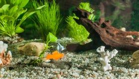 Akvariet med fiskar, naturliga växter och vaggar fiskar tropiskt Akvarium med gröna växter Royaltyfri Bild