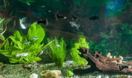 Akvariet med fiskar, naturliga växter och vaggar fiskar tropiskt Akvarium med gröna växter Royaltyfri Fotografi