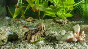 Akvariet med fiskar, naturliga växter och vaggar fiskar tropiskt Akvarium med gröna växter Arkivbild