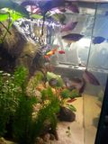 Akvarium νερού perlegurami ψαριών platyer στοκ φωτογραφίες με δικαίωμα ελεύθερης χρήσης