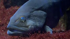 Akvarium av Genua, ett havsaborreslut upp arkivfilmer