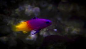 Akvarium för behållare för marin- fisk Royaltyfria Foton