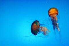 akvarium georgia Arkivbild