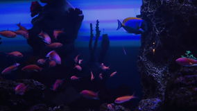 Akvarium med den exotiska fisken arkivfilmer