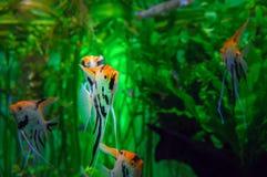 Akvarium med fiskScalare för tropiska cichlids den fantastiska pterophyllumen Exotisk härlig fisk på en bakgrund av ljust - gröna Arkivbild