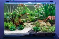 Akvarium med några tropiska fiskar Arkivbilder