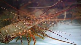 Akvarium med skaldjur, hummer i restaurangen Gatamatmarknad i Asien arkivfilmer