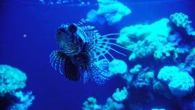Akvarium med växter och tropiska färgrika fiskar arkivfilmer
