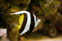 akvariumbutterflyfish Royaltyfri Fotografi