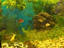 Akvariumcolourfull fiskar i m?rkt djupbl?tt vatten royaltyfria bilder