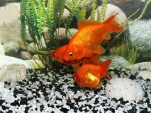 akvariumfisch Royaltyfri Fotografi