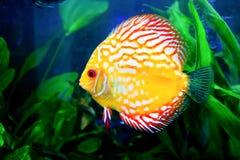 akvariumfisches några som är tropiska Royaltyfri Foto