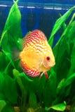 akvariumfisches några som är tropiska Royaltyfria Foton