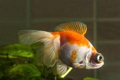 Akvariumguldfisken med mycket stora ögon simmar i vattenwina Fotografering för Bildbyråer