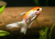 akvariumguldfisken säger att något önskar Royaltyfri Foto