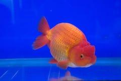 akvariumguldfisken säger att något önskar Arkivfoto