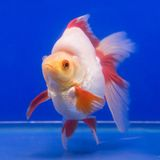 akvariumguldfisken säger att något önskar Royaltyfri Fotografi