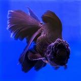 akvariumguldfisken säger att något önskar Royaltyfri Bild