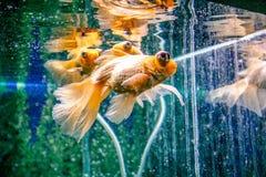 akvariumguldfisken s?ger att n?got ?nskar N?rbild Guldfisk med en vit svans Underbar och oerh?rd undervattens- v?rld med fisken royaltyfria foton