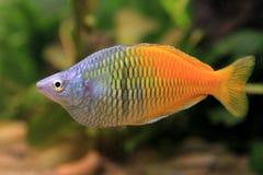 akvariummanligrainbowfish Royaltyfri Fotografi