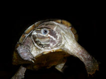 Akvariumsköldpadda Arkivbilder