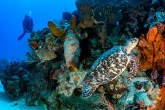 AKWALUNGU żółw i nurek obrazy royalty free