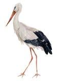 Akwarela biały bocian Ciconia ptasia ilustracja odizolowywająca na białym tle Dla projekta, druków lub tła, ilustracji