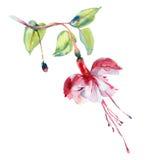 Akwarela czerwony kwiat Obraz Royalty Free