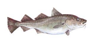 Akwarela dorsza ryba pojedynczy zwierzę odizolowywający Obraz Stock