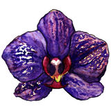 Akwarela fiołkowy purpurowy tropikalny storczykowy kwiat odizolowywał wektor Fotografia Stock
