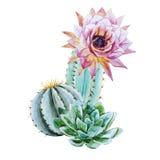 Akwarela kaktus ilustracji