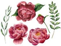 Akwarela kwiecisty set z peonią i greenery Ręka malująca kwitnie z liśćmi, gałąź eukaliptus i rozmarynami, ilustracji