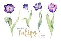 Akwarela kwiecisty tulipan odosobniony kolorowy ilustracja wektor
