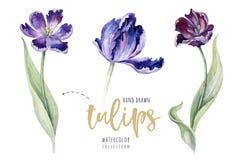 Akwarela kwiecisty tulipan odosobniony kolorowy royalty ilustracja