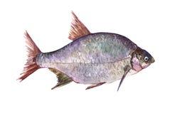 Akwarela leszcza ryba pojedynczy zwierzę odizolowywający Obrazy Royalty Free