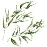 Akwarela liści gałąź set Ręka malujący eukaliptusowi elementy tła cogwheel ilustraci odosobniony biel Dla projekta royalty ilustracja